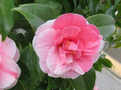 ツバキの花 (9)