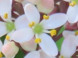 ミヤマシキミの小花
