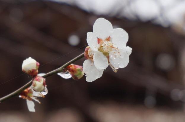 雨に濡れて艶っぽい花