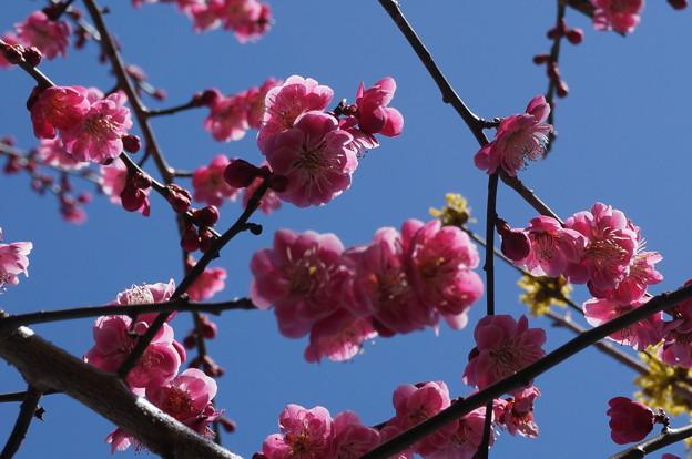 梅の本来の色鮮やかさが撮れない( ;∀;)
