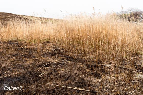 渡良瀬遊水地葦焼きの痕跡