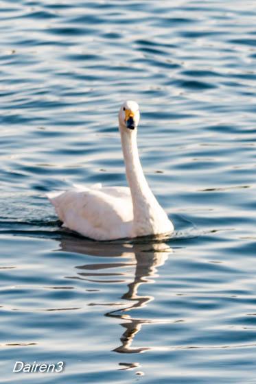 岩倉橋の白鳥