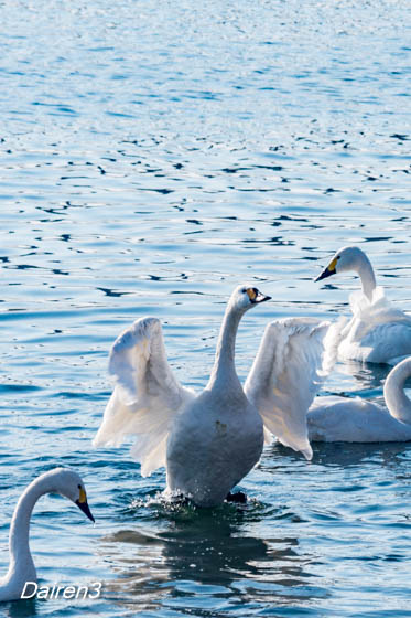 餌をねだる白鳥