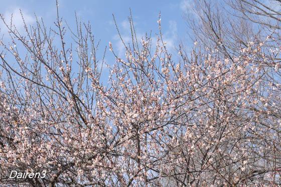 白梅もこんなに咲いた