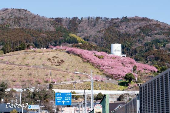 松田町西平畠山公園斜面の河津桜