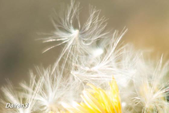 ノゲシの綿毛