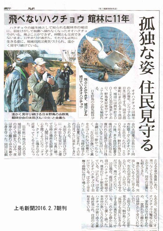 飛べない白鳥 上毛新聞記事
