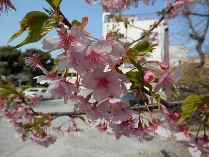 河津桜 7