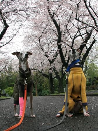0403花見散歩_04