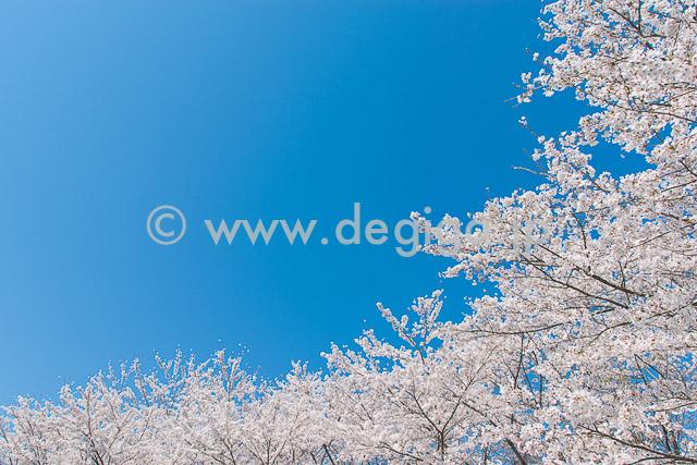 満開桜(タイトル:『魅惑のサクラ』より)