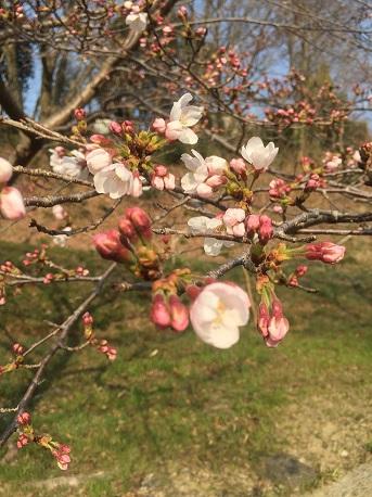 16桜 咲き始め
