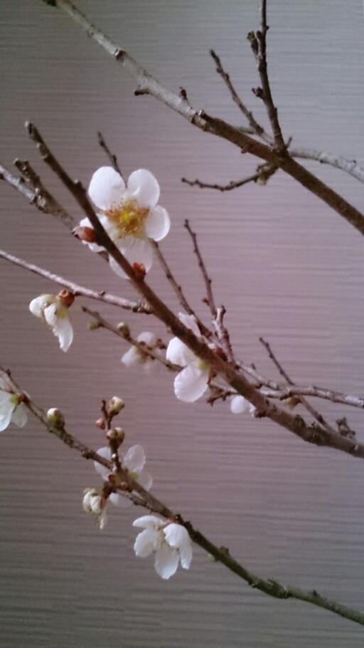 新春  梅のほころび