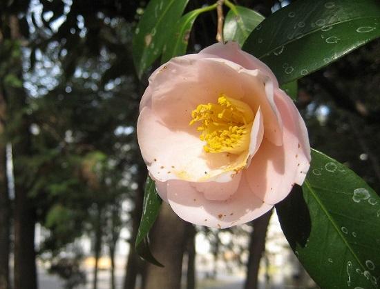 ピンク019椿