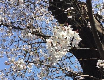 三橋公民館の桜 20160329