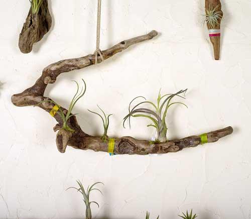 流木とエアープランツ(チランジア)-2