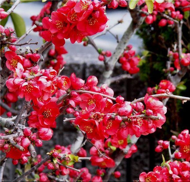 ボケの花満開