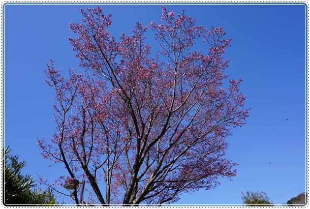 2016-2おかめ桜