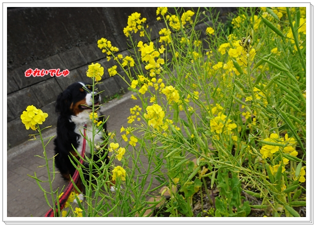 2016-3菜の花