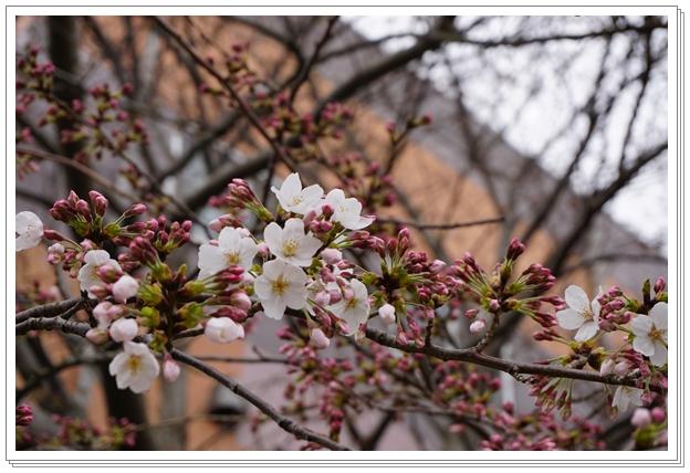 2016-3桜1
