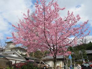 知恩院前桜blog01