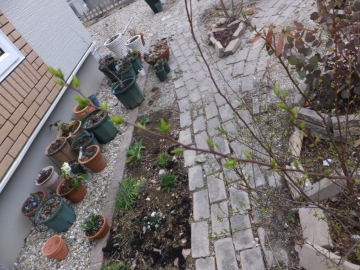 1603コデマリの芽
