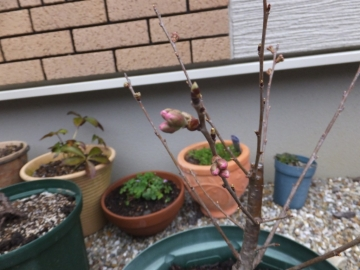 1603サクランボの芽