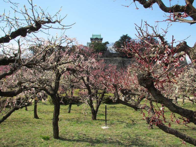 大阪城と梅1