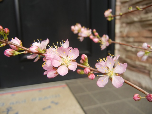niwaume160327a.jpg