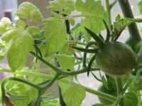 ミニトマト 3月