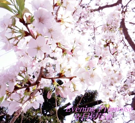 お花見09