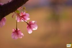 花の園の桜_03
