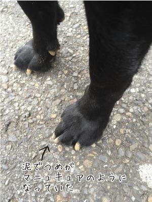 ラブラドールの足