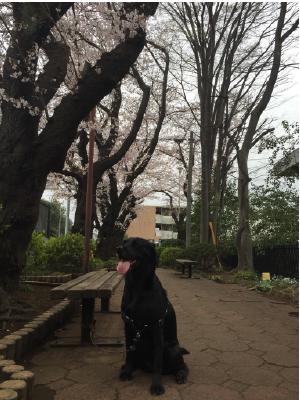 桜とラブラドール02