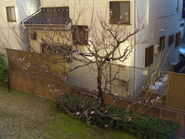 家前桜A1989