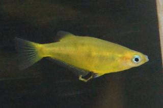 プロフンディコラメダカ雌(東山)