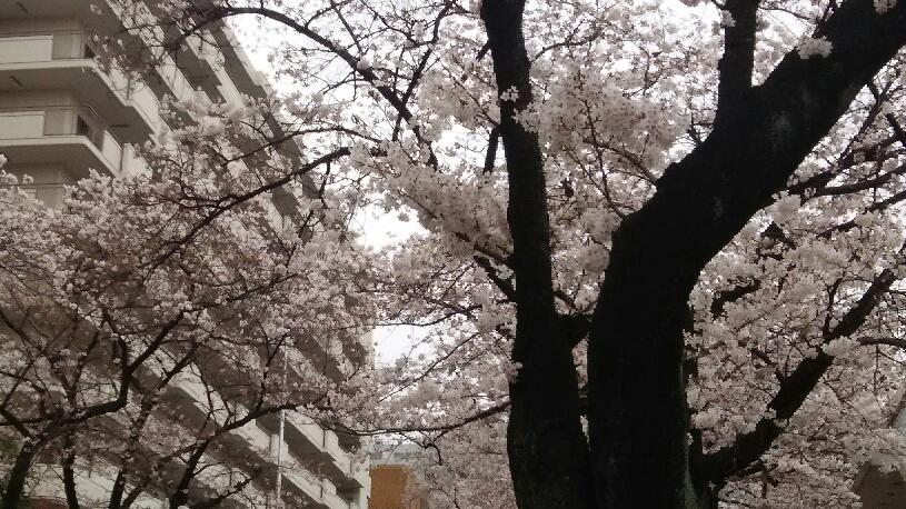 満開の桜2