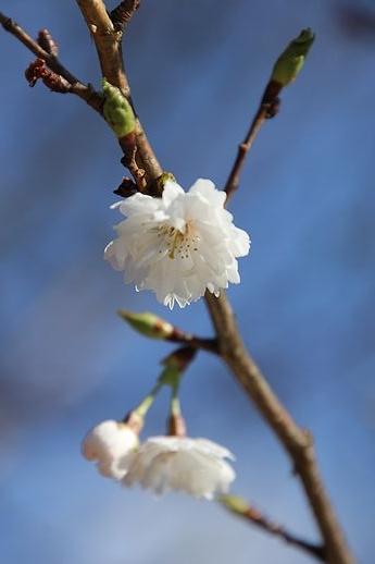 IMG_0005十月桜