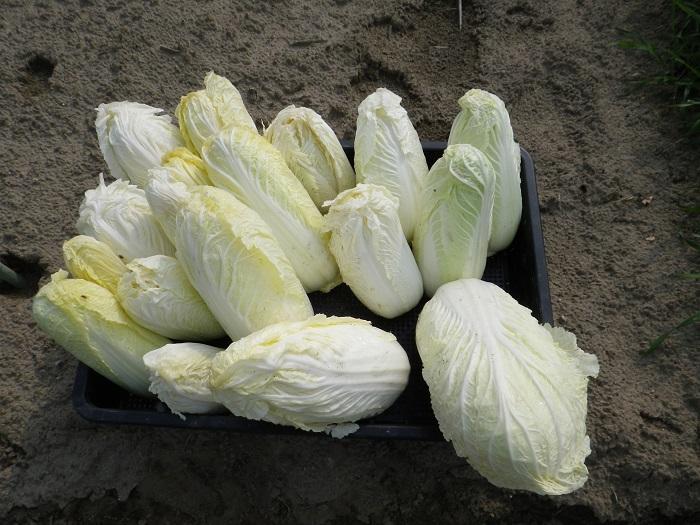 白菜3_16_02_27