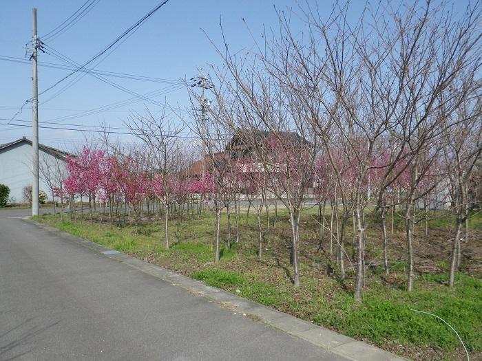 桜2_16_03_20