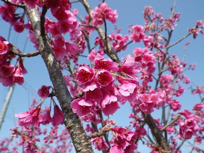 桜4_16_03_20