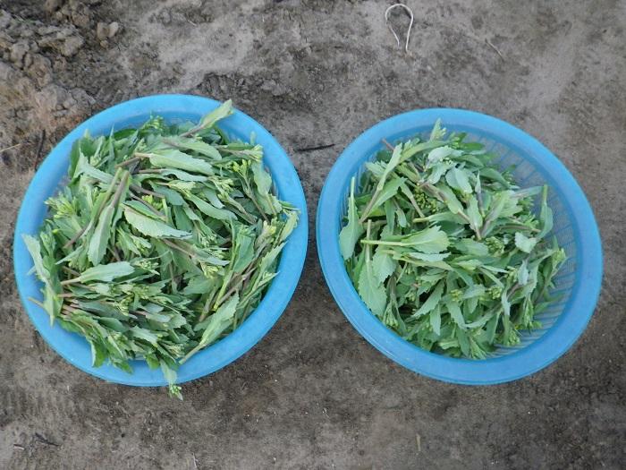 収穫16_03_31