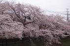 16sakura0066s.jpg