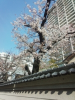 IMG_20160329_写真桜
