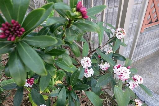 3-15沈丁花