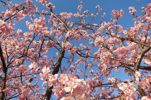 3-15青空と桜②