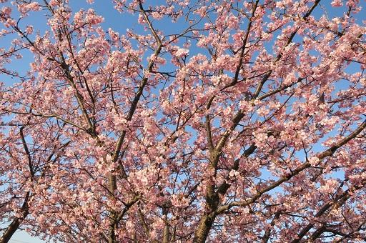 3-15青空と桜