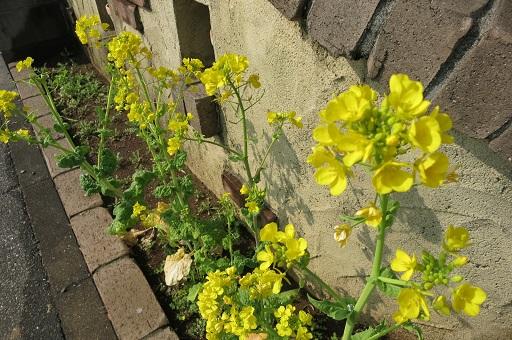 3-15残念な菜の花