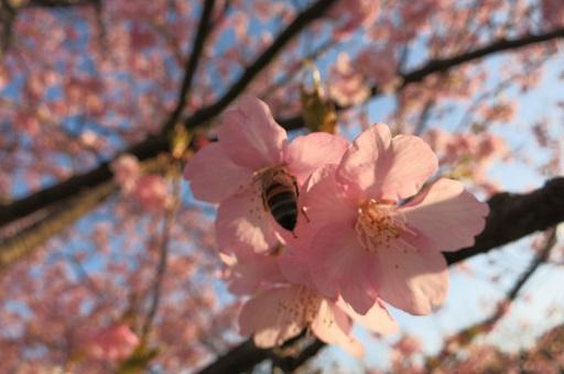 3-15桜とハチ