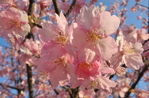 3-15桜アップ