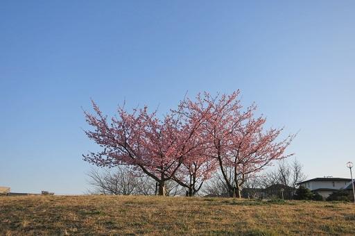 3-15河津桜